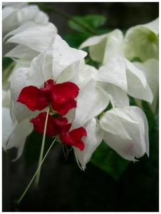 Capcana in alb si rosu