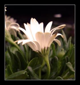 floare_alba.jpg