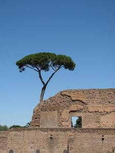 Pin printre ruine, Roma